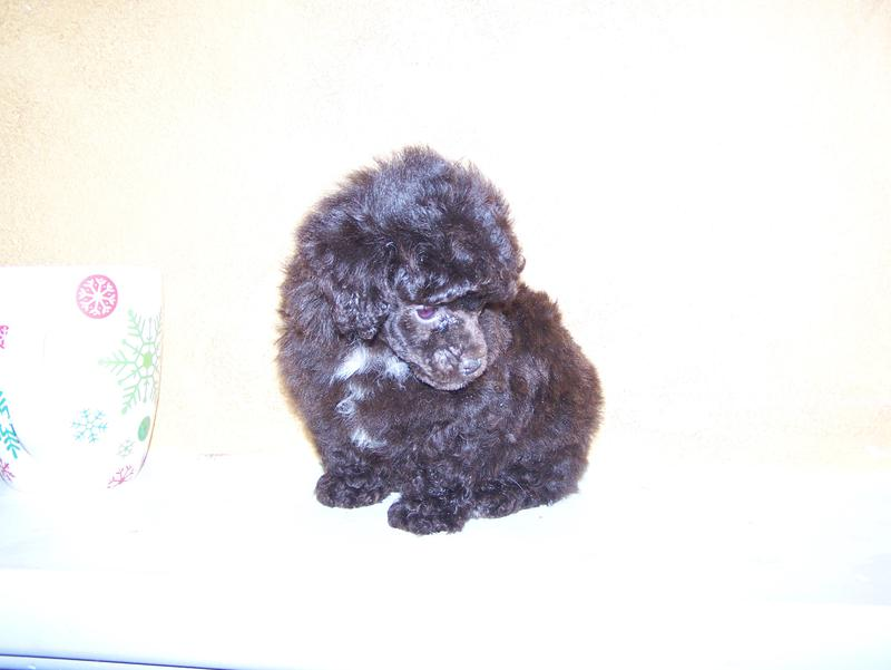 Micro Teacup Poodle Breeder In Louisiana Tiny Teacup Poodle