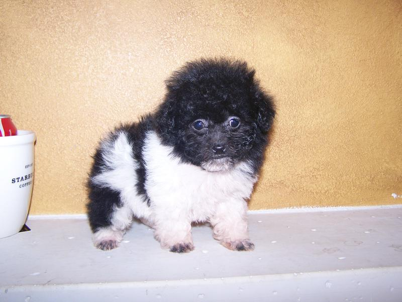 Teacup Poodle Puppies For Sale Toy Poodle Puppies For