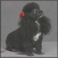 micro teacup poodle breeder
